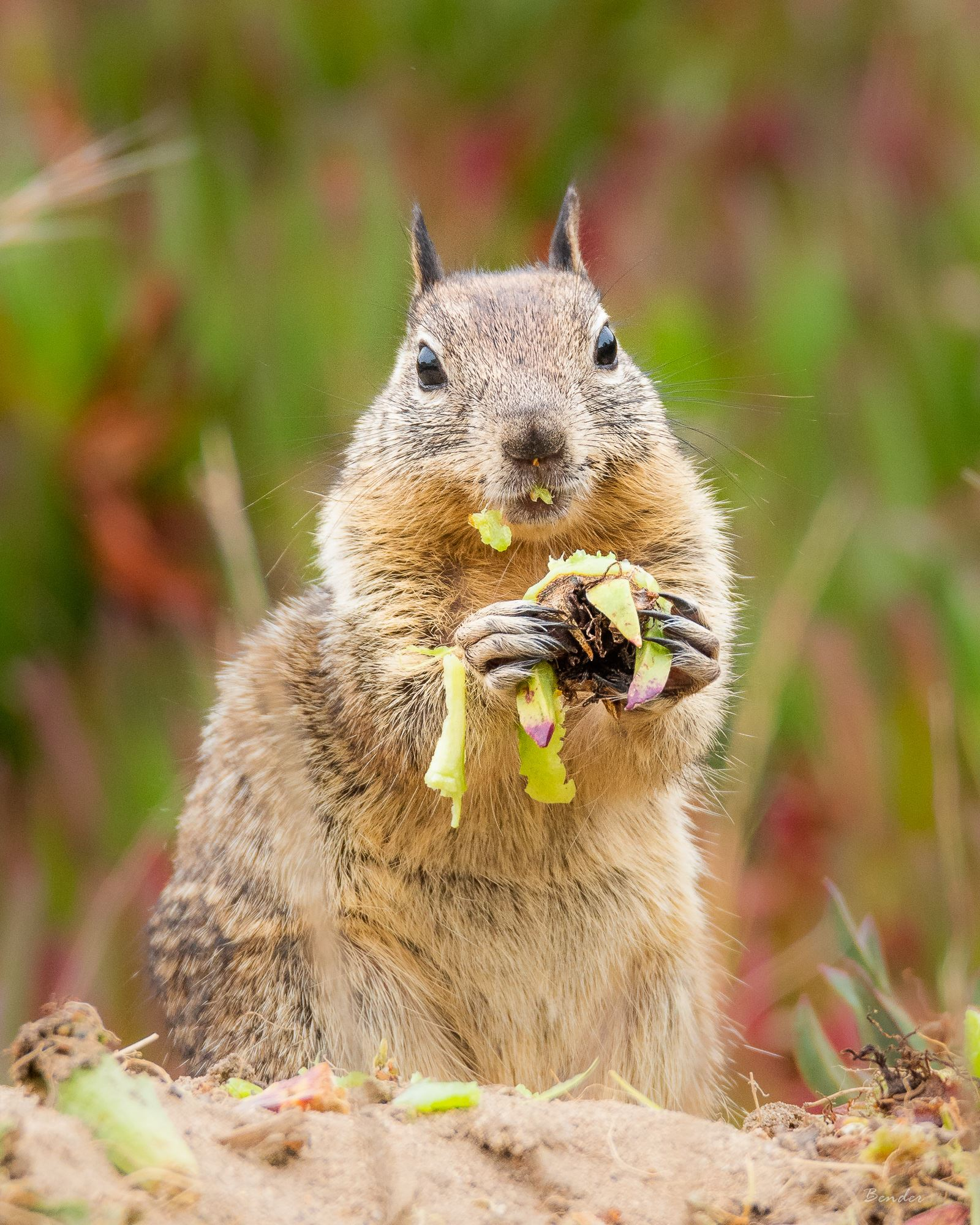 """Messy Eater"" (Seaside CA ground squirrel)"