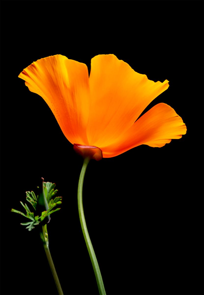 Seaside's California Poppy